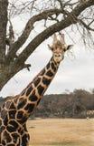 Girafe se tenant sous une branche d'arbre Images libres de droits