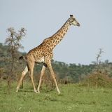 Girafe in the Serengeti. A Girafe in the Serengeti Royalty Free Stock Images