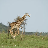 Girafe in the Serengeti Stock Photography