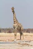 Girafe seule à un point d'eau artificiel Photographie stock libre de droits