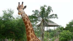 Girafe simple en parc de safari de zoo Giraffe dans le zoo Mastication de girafe camelopardalis de giraffa, haut étroit de tête banque de vidéos