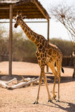 Girafe simple sur la savane en parc Images libres de droits