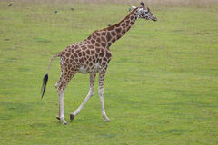 Girafe solitaire Photographie stock libre de droits