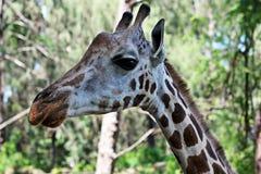 Girafe stående Fotografering för Bildbyråer