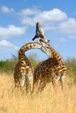 Girafe sur la savane en Afrique Photos libres de droits