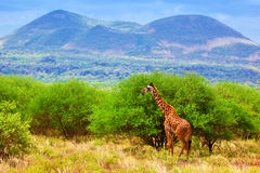 Girafe sur la savane. Safari dans Tsavo occidental, Kenya, Afrique Images stock