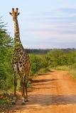 Girafe sur le chemin de terre au coucher du soleil Photos stock