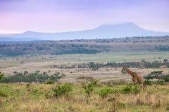 Girafe sur le mouvement Images libres de droits