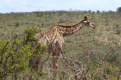 Girafe sur le mouvement Image stock