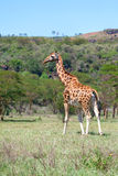 Girafe sur un fond d'herbe Photo stock