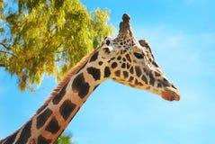 Girafe tegen blauwe hemel Stock Foto's