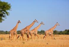 Girafe Thornycroft - endemic en Zambie Image libre de droits