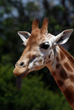 Girafe with tongue out. Girafe with it's tongue out Royalty Free Stock Image