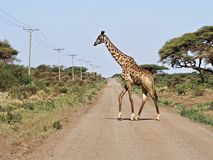 Girafe traversant la route Image stock