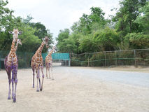 Girafe triple Images stock
