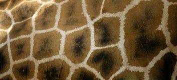 Girafe van Afrika. De textuur van de huid Stock Fotografie
