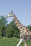 Girafe walking Stock Photo