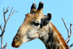Girafee in Okavango delta, Botswana Stock Photo