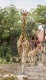 Girafes à la ferme Photo libre de droits