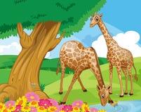 Girafes à la rive Photographie stock
