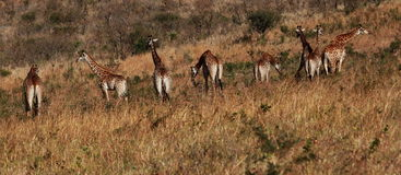 Girafes Images stock