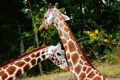 Girafes Photographie stock