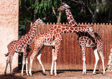 Girafes Photographie stock