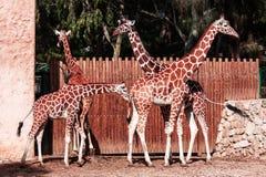 Girafes Photo libre de droits
