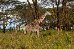 Girafes Image stock