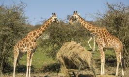 Girafes Photos libres de droits