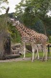 Girafes Images libres de droits