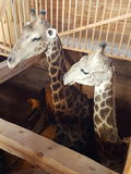 Girafes Arkivfoto