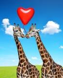 Girafes affectueuses avec le ballon au coeur de forme Images stock