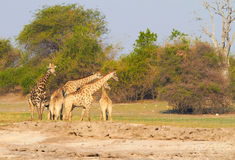 Girafes africaines Photographie stock