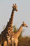 Girafes africaines Image libre de droits