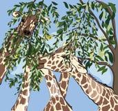 Girafes ayant le repas Photo libre de droits