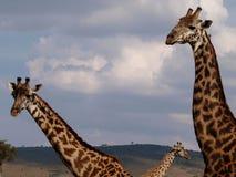 Girafes curiosos Foto de archivo libre de regalías