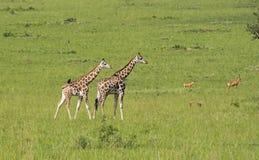Girafes dans la savane images stock