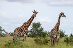 Girafes dans le buisson, photographié au parc national de Kruger en Afrique du Sud image stock