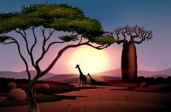 Girafes dans le dessert Photo stock