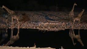 Girafes dans le point d'eau banque de vidéos