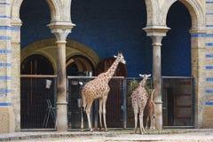 Girafes dans le zoo de Berlin Photographie stock libre de droits