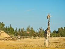 Girafes dans le zoo de la savane images stock
