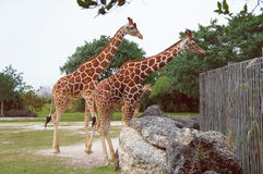 Girafes dans le zoo de métro de Miami photo libre de droits