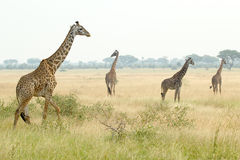 Girafes dans Serengeti Photo libre de droits