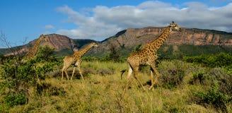 Girafes dans une réservation de jeu Photographie stock libre de droits