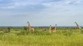 Girafes dans une savane verte, parc de Kruger, Afrique du Sud photographie stock libre de droits