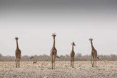 Girafes dans une tempête de sable images libres de droits
