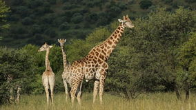 Girafes de alimentation banque de vidéos