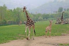 Girafes de marche dans un zoo Photographie stock libre de droits